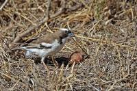 Plocepasser mahali; White-browed sparrow-weaver; Vitbrynad sparvvävare
