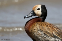 Dendrocygna viduata; White-faced whistling duck; Vithuvad visseland