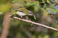 Apalis flavida; Yellow-breasted apalis; Gulbröstad apalis