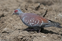 Columba guinea; Speckled pigeon; Guineaduva