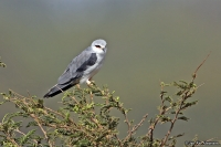Elanus caeruleus; African black-shouldered kite; Svartvingad glada