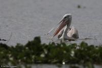 Pelecanus rufescens; Pink-backed pelican; Rosaryggig pelikan
