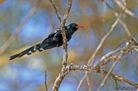 Phoeniculus purpureus; Green wood-hoopoe; Grön skratthärfågel