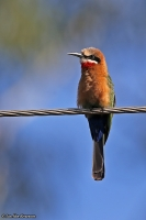 Merops bullockoides; White-fronted bee-eater; Vitpannad biätare