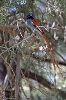 Terpsiphone viridis; African paradise flycatcher; Afrikansk paradismonark