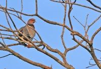 Patagioenas cayennensis; Pale-vented pigeon; Rostduva