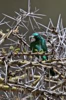 Chrysococcyx klaas; Klaas's cuckoo; Klaasglansgök