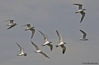 Gelochelidon nilotica; Gull-billed tern; Sandtärna