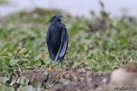 Egretta ardesiaca; Black heron; Svarthäger