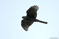Accipiter nisus; Eurasian [Northern] sparrowhawk; Sparvhök