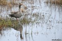 Anser anser; Greylag goose; Grågås