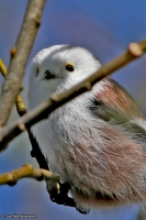 Aegithalos caudatus; Long-tailed tit; Stjärtmes
