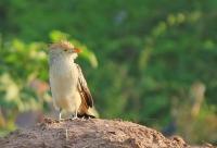 Guira guira; Guira cuckoo; Guiragök
