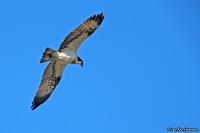 Pandion haliaetus; Osprey; Fiskgjuse