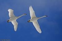 Cygnus cygnus; Whooper swan; Sångsvan
