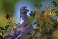 Columba palumbus; Common wood pigeon; Ringduva