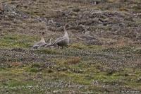 Anser brachyrhynchus; Pink-footed goose; Spetsbergsgås