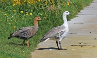 Chloephaga picta leucoptera; Greater upland goose; Falklandsgås