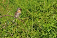 Nystalus maculatus; Spot-bellied [Caatinga] puffbird; Caatingatrögfågel