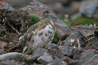 Lagopus muta [hyperborea]; Rock ptarmigan; [Svalbard-] Fjällripa