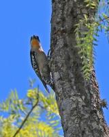 Melanerpes cactorum; White-fronted woodpecker; Vitpannad spett