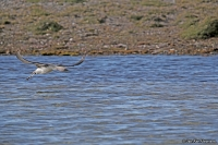 Gavia stellata; Red-throated loon; Smålom