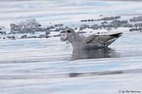 Fulmarus glacialis; Northern fulmar; Stormfågel