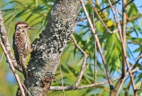 Veniliornis mixtus; Checkered woodpecker; Schackspett (Strimmig spett)
