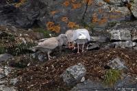 Larus hyperboreus; Glaucous gull; Vittrut
