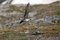 Stercorarius longicaudus; Long-tailed jaeger [skua]; Fjällabb