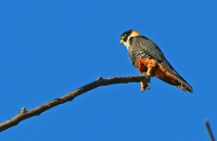 Falco rufigularis; Bat falcon; Fladdermusfalk