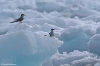 Sterna paradisaea; Arctic tern; Silvertärna
