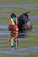 Aix galericulata; Mandarin duck; Mandarinand