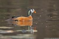 Nettapus auritus; African pygmy-goose; Afrikansk dvärgand