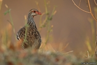 Pternistis afer; Red-necked spurfowl [francolin]; Rödstrupig frankolin