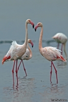Phoenicopterus roseus; Greater flamingo; Större flamingo