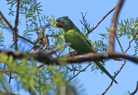 Aratinga acuticaudata; Blue-crowned parakeet; Blåkronad parakit