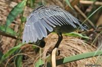 Butorides striata; Striated [Mangrove] [Green-backed] heron; Mangrovehäger