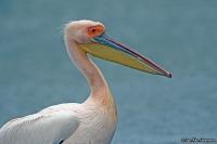 Pelecanus onocrotalus; Great white [Eastern, Rosy] pelican; Vit pelikan