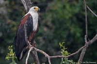 Haliaeetus vocifer; African fish-eagle; Skrikhavsörn