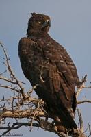 Polemaetus bellicosus; Martial eagle; Stridsörn