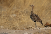 Lophotis ruficrista; Red-crested korhaan [bustard]; Sydlig tofstrapp