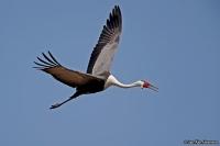 Grus carunculata; Wattled crane; Vårttrana