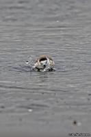 Charadrius marginatus; White-fronted plover; Vitpannad strandpipare
