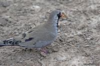 Oena capensis; Namaqua dove; Långstjärtduva
