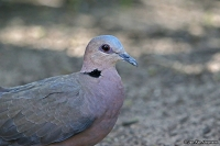 Streptopelia semitorquata; Red-eyed dove; Rödögd duva