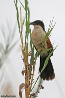 Centropus cupreicaudus; Coppery-tailed coucal; Sumpsporrgök