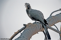Corythaixoides concolor; Grey go-away-bird [Grey lourie]; Grå tofsturako