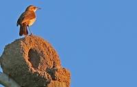 Furnarius rufus; Rufous hornero; Haciendahornero [Ugnsfågel]