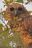 Scotopelia peli; Pel's fishing-owl; Afrikansk fiskuggla